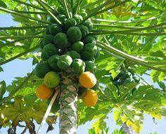 La papaya,Carica papaya L., es originaria de las zonas tropicales de México y Centroamérica aunque por motivos comerciales su cultivo se ha extendido a muchas otras zonas tropicales y subtropicales del mundo. Es una fruta de alto valor nutritivo, con gran sabor y propiedades medicinales. Se consume en fresco como fruta y también se utiliza para elaborar zumos, refrescos, mermeladas, encurtidos y curry. El tallo verde y los frutos segregan un látex del que se extrae la papaína utilizada en…