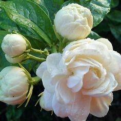 Beautiful, sweet and fragrant sampaguita flower. Elegant Flowers, Black Flowers, Amazing Flowers, Beautiful Flowers, Nardo, Gardenias, Succulent Tree, Paradise Garden, White Gardens