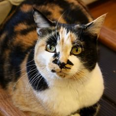 I don't know why, but Calico Cats and Tortoise Shell Cats (along with Siamese), are some of my favs. So, I kinda want one.