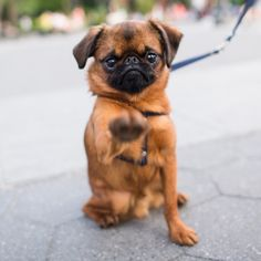 thedogist: Pablo, Brussels Griffon (1 y/o),... | NYC Brussels Griffon