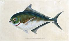 RAY S TOOTHED GILT-HEAD by Edward Donovan From The Natural History of British Fishes by Edward Donovan Published London 1803 by…