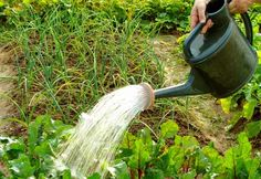 watering by hand helps to conserve water and gets the water where it's needed.