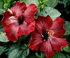 Hibiscus, esta planta y este color la tengo en mi pequeño jardin, me da 2 veces al año sus hermosas flores aterseopeladas