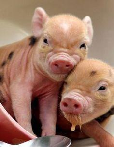 Teacup pigs! In a teacup!