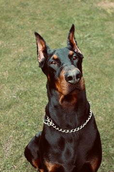 Doberman, Dogs, Animals, Animales, Animaux, Pet Dogs, Doggies, Animal, Dobermans