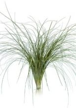 Bear Grass, extra long  $3/growers bunch  - filler , bouquets/vases?