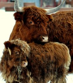 Highland cow and calf.