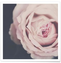 Rose Pink als Premium Poster von Ingrid Beddoes | JUNIQE
