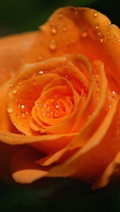 Orange Rose #flowers