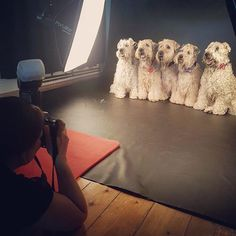 So this happened today.  Left to right: Nellie Ciara Lia Cassidy and Sheamus.  Life does not get any better than 5 little Wheatens all in a row!  . . . #dogsofmelbourne #frogdogstudios #frogdogcrew #melbourne #melbournedogs #wheatenterrier #wheatensofig #petphotography #melbournepetphotography #petsofmelbourne #melbournephotographer