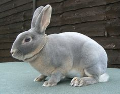We have baby Mini Rex one of the most friendly of the small breeds, they come in many colors, and have th. Mini Rex Rabbit, Pet Rabbit, Baby Bunnies, Cute Bunny, Bunny Bunny, Coelho Rex, Rabbits For Sale, Baby Animals, Cute Animals