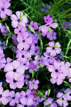 viscaria - an Invitation to DANCE Flower Meanings, Blue Angels, Flower Seeds, Outdoor Entertaining, Garden Styles, Mother Nature, Outdoor Gardens, Color Mixing, Planting Flowers