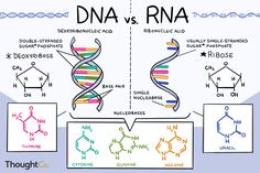 Do You Know the Differences Between DNA and RNA? DNA and RNA both carry genetic information, but there are differences between them. Here, see a comparison of the differences between DNA versus RNA. Study Biology, Biology Lessons, Science Biology, Teaching Biology, Science Education, Life Science, Forensic Science, Higher Education, Computer Science