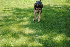 Geronimo! Doberman Shepherd, Geronimo, Dogs, Pictures, Animals, Animais, Animales, Photos, Animaux