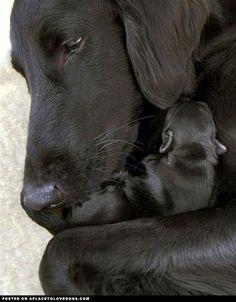 Flat Coat Retriever Mom & Pup