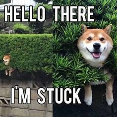 Let me take some pictures first before I help #shibainu #9gag @9gagmobile #awesome #L4L #tagforlikes #instafollow