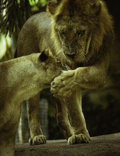 Lion King by oka ag, via 500px
