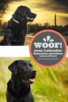 All of your Labrador Behaviour questions answered. From barking, to aggression, fear and reactivity in dogs.