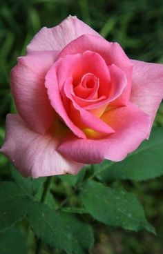 Beautiful Rose Flowers, Pretty Roses, Romantic Roses, Love Rose, Amazing Flowers, Beautiful Gardens, Pink Roses, Pink Flowers, Rose Reference