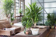 Die Yucca verschönert jeden Wohnraum mit Still und Eleganz  #yucca #pflanzenfreude #diy #copper #kupfer #schönerwohnen #living #wohnideen #pflanzen #plants