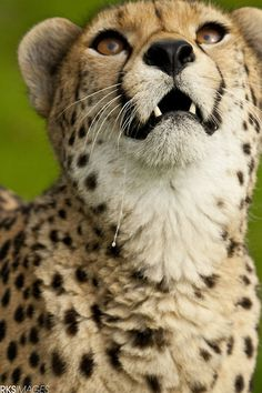 Cheetah (via 500px / Heads up! by Rose Smith)
