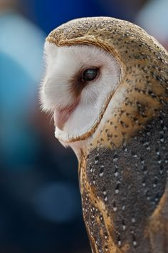 """Barn Owl"" by William Vos 
