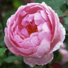 ~The Reeve - David Austin Roses. Repeating English rose. Has good black spot resistance and is resistant to powdery mildew. Some damage from cold winters unless protected, hardy to zone 5. Some damage from Japanese beetles and rose midge. Height & Spread of 4'.