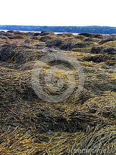 Photo about At very low tide leaves the rocky beach covered in a beautiful texture of kelp seaweed. Image of nature, photosynthesis, agar - 59633717 Beautiful Textures, Beach Covers, Permaculture, Seaweed, Maine, Coast, Stock Photos, Patterns, Outdoor