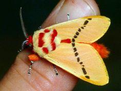 Trosia sp., Megalopygidae