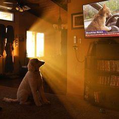 """Breaking News!!! Cat refuses to go to vet...takes the wheel in a fit of Rage! Juji is absolutely enthralled with this news report. Look at the TV! It's hilarious. #barkbox #Bestdog #worldofcutepets #chrisandjuji #ig_underground #ellen #dogsandpals #ellendegeneres #excellent_dogs #enter_imagination #theellenshow #arts_help #petscorner #chewy #petsofinstagram #ps_bestrange #moodygrams #minnesotaphotographers #topdogphotos #ilovemydog #dogsofinstgram #vikings #simplycooldesign #petsmart…"