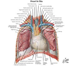 RIB LANDMARKS | Anatomy | Pinterest | Thoracic cavity ...