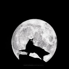 Moondance.  I imagine...  (WolfCub, Belgian Shepherd Groenendael)   If you wish to help support my photography by purchasing a print, please email kirsten@wolfshadowphotography.com :-)  © 2014 wolf shadow photography #photography #fineart #dog #wolfcub