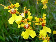 Oncidium Obryzatum   Oncidium klotzchianum or obryzatum?   Flickr - Photo Sharing!