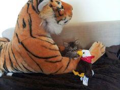 Une amitié formidable entre un chaton, un aigle et un tigre ! :) #kitten #cat #funny #lolcats