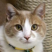 JAMMIE is an adoptable Domestic Short Hair - Buff And White Cat in Grand Rapids, MI. When I emailed my friend Lindsey at Harbor Humane Society to ask her if she had any cats that had been at their pla...