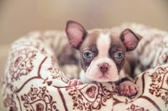©Ama Photography www.AmaByAisha.com Facebook.com/AmaPhotog featured on The Daily Dog Tag . Pet Photos . Red Boston Terrier