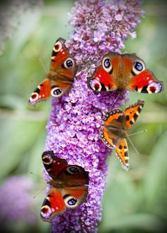 """Butterflies.. A previous pinner helpfully told us, """"Best butterfly plant ever.. Buddleia devidii."""" I didn't know that. ;) Mo"""