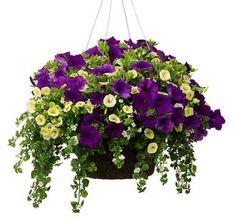 Superbells(Yellow Chiffon) Superpetunia(Royal Velvet) Snowstorm(Giant Snowflake)  * Hanging basket that takes full sun*
