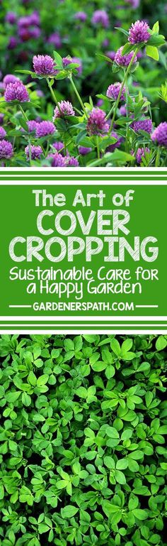 What is cover cropping? Is it right for you, your plants, and your gardening needs? Our simple answer: of course! It might not be as quick as using chemical fertilizers, herbicides, and pesticides – but you'll soon learn that you're saving time and money on both soil building and plant food, all while doing your environment and your garden some huge favors. Read about it now! http://gardenerspath.com/how-to/composting/cover-cropping/