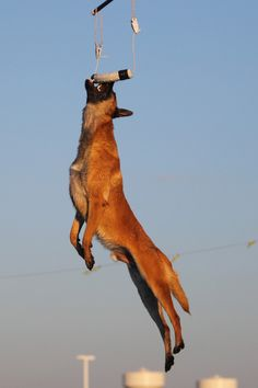 What a leap!  Malinois in action.  From superservicedogs on tumblr.  #dogs