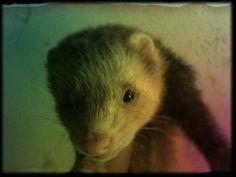 # Huron # Ferret ♥♥ :) ★★