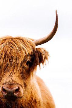 Scottish Highland Cow, Highland Cattle, Animal Photography, Fine Art Photography, Nature Photography, Highland Cow Painting, Highland Cow Art, Cow Wallpaper, Galloway