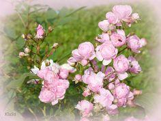 rose madder breeze