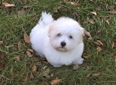 "Coton"" is the French word for cotton. Like the name suggests, probably the most conspicuous feature from the Coton de Tulear is its coat, that is cottony or fluffy as opposed to silky. It has a lengthy topcoat."