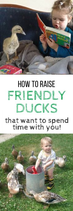 """The ONE single question I get most often about raising ducks (even more often than """"what should I feed them?""""), is this: """"How can I raise my ducklings to be friendly, and enjoy being with me?"""" In this post, you'll find my best tips for how to raise friendly ducks – tips I've found..."""