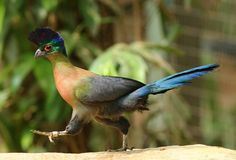 https://flic.kr/p/yUL6Nc | Purple-crested Turaco | a small step for this bird, a giant leap for birdkind as everyone hurried to eat lunch. This one has got status, he is the national bird of the kingdom of Swaziland. I'm sure he got the privilege to eat first. @jurong birdpark, sg
