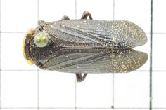 Planthopper, Order Homoptera: Family Fulgaroidae (Top) J. Cauthorn