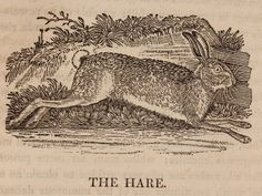A General History of Quadrupeds, by Thomas Bewick. Sold at: www.SpencerBros.co.uk. Antiquarian / antique / book / woodcut / woodblock / illustration / hare / picture / engraving / Georgian / English / period / era / style / art / design.