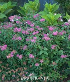 Monrovia's Double Play® Artist Spirea details and information. Learn more about Monrovia plants and best practices for best possible plant performance.