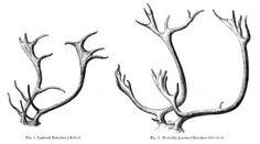 reindeer antler art | Lapland Reindeer deer antlers - Curious Clipart - Vintage Clip Art